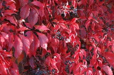 Virginia creeper leaves turn red in fall.