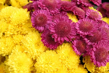 Bright chrysanthemum flowers  background
