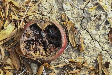 Pomegrante on Earth Revolation