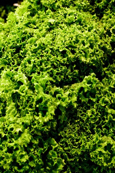 Leafy green kale texture