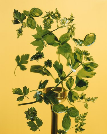 Chervil and Cilantro on yellow background, close-up