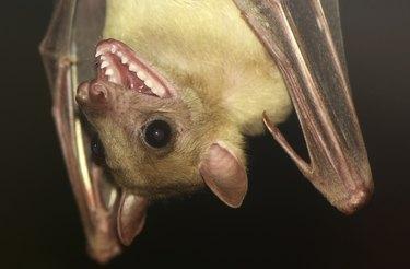 Fruit Bat open mouth