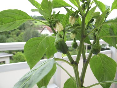 Sweet peppers in flowerpot on balcony