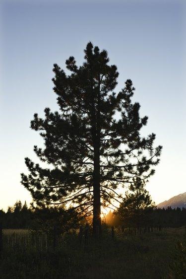 Tree at Mount Shasta, California