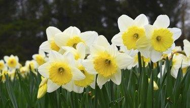 Daffodils in a field of daffodils.