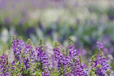 closeup of beautiful purple angeloain goyazensis flower