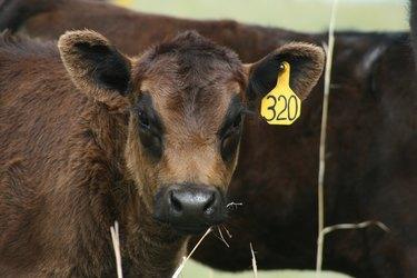Blackeyed Calf