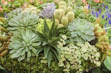 Different succulent cactus plants