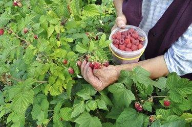 Senior woman picking ripe raspberrie
