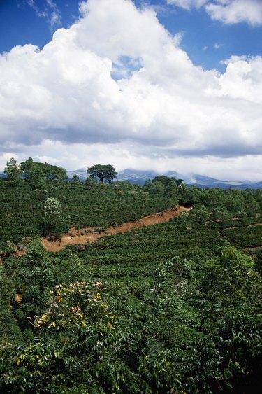 Coffee beans field, Costa Rica