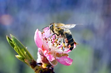 peach flower with bee