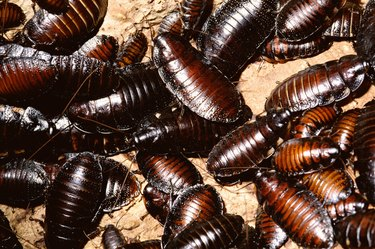 Madagascar hissing cockroaches in captivity