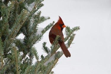 Cardinal in Fraser Fir