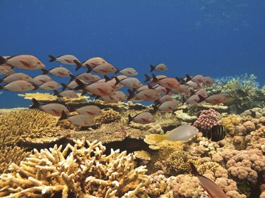 School of fish and coral Great Barrier Reef Australia