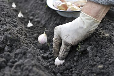 planting the garlic