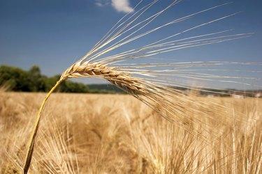 Ripe barley head in front of a field