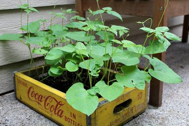 growing pole beans in conatiners