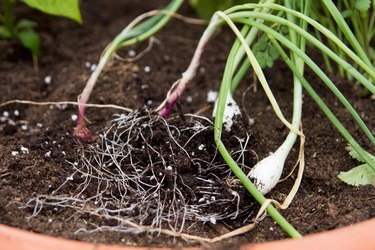 Separating onion plants