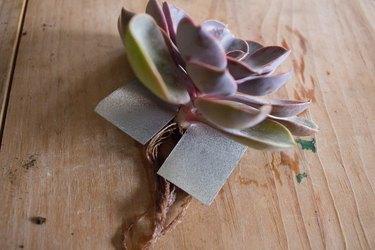 Succulent through aluminum lid