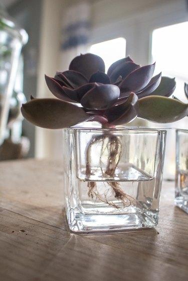 Succulent in hydroponic vessel