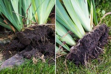 Dig up irises