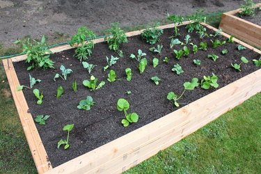 Planted vegetable seedlings