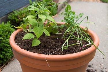 Planted salsa container garden