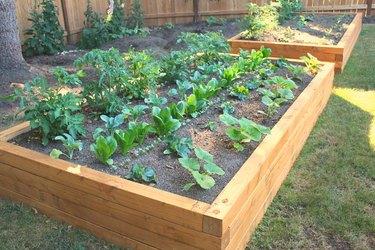 Vegetables growing in garden box