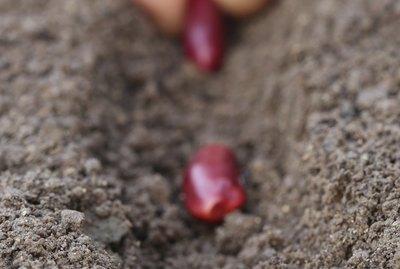 Kidney beans plantation