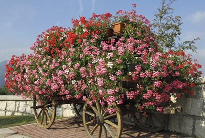 wagon with blooming Geraniums in summer