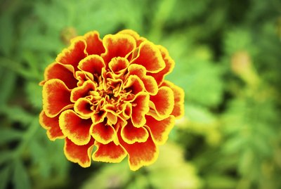 Close up yellow marigold in mome garden
