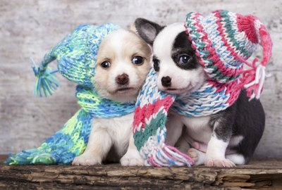 puppies wearing a knit hat