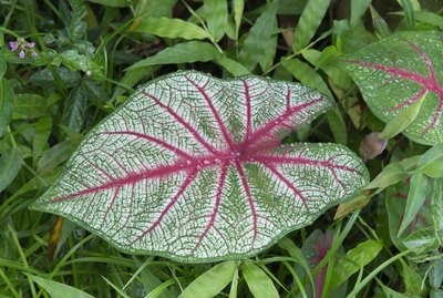Caladium Leaf. water droplets  (XXL suitable for cropping)