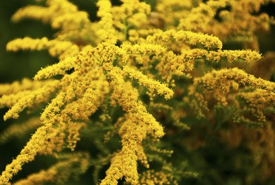 Canada goldenrod (Solidago canadensis) beautiful blooming moment