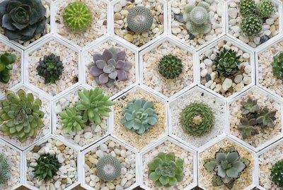 cactus variety