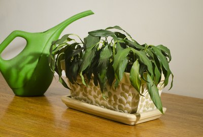 wilted house plant with pitcher