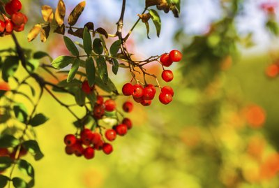 Ashberry in autumn