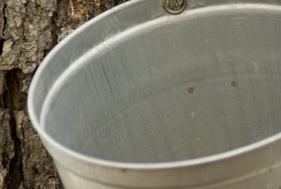 Spout and bucket on sugar maple tree