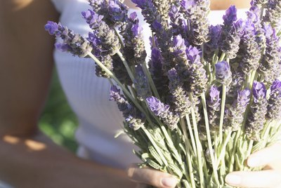 Woman Holding Bunch of Lavender Blossoms