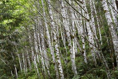 Birch forest with ferns