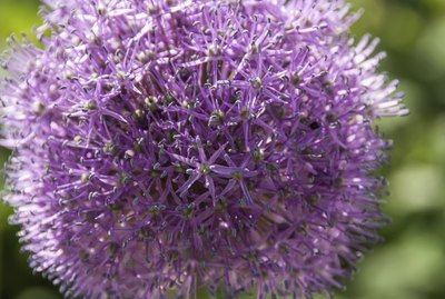 Allium flower closeup