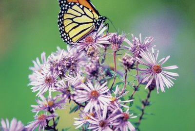 Close-up of a Monarch Butterfly (Danaus plexippus ) on a perennial aster
