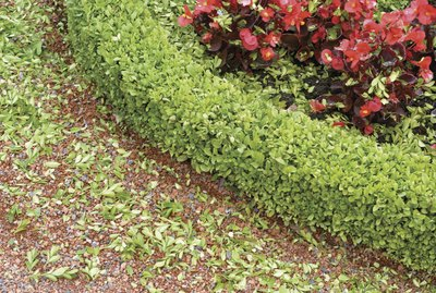Boxwood and Begonias in a formal garden
