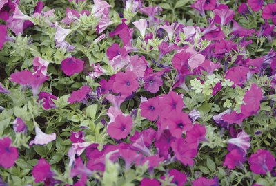 Close-up of petunias