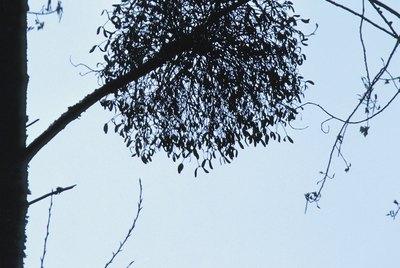 Mistletoe on tree in France