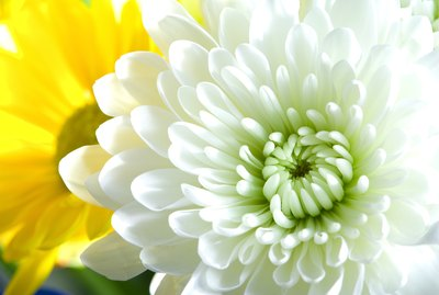 White chrysanthemum and yellow daisy