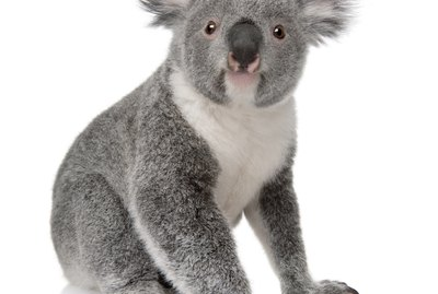 Front view of Young koala, Phascolarctos cinereus, sitting.