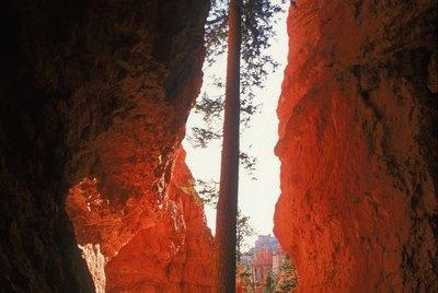 Ponderosa Pine grows among limestone walls in Bryce Canyon National Park , Utah