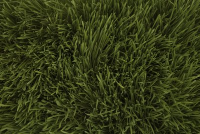 Wheatgrass, full frame