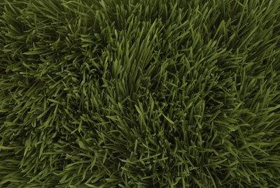 Wheatgrass, full frame